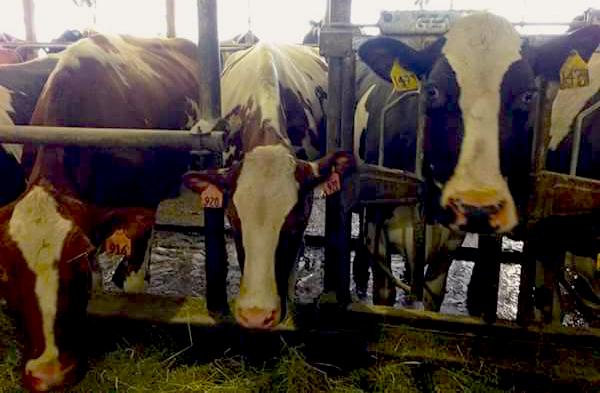 Jasper Hill Farm Cows